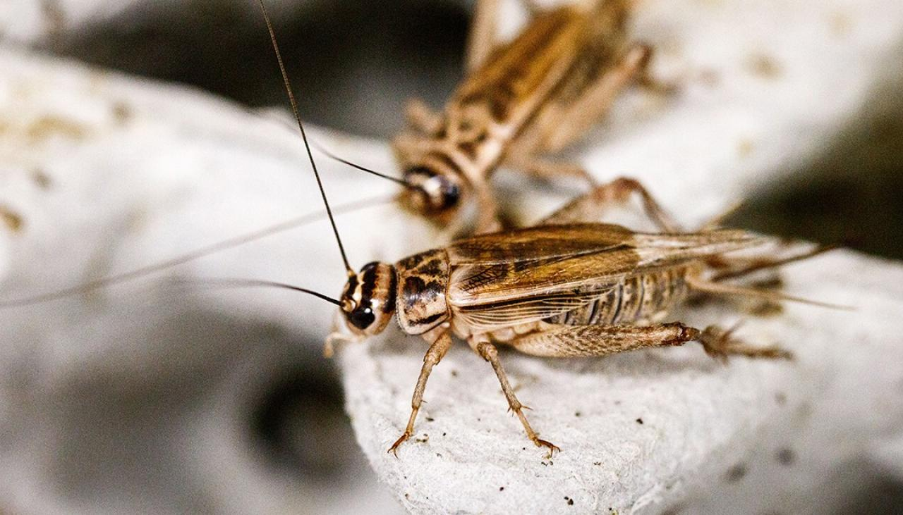 crickets_about-us2