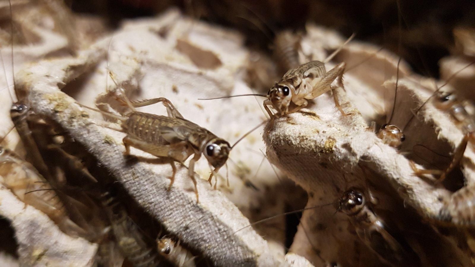 Gyvi Svirpliai Live Crickets Lebende Heimchen Grillen Живые сверчки Żywe świerszcze