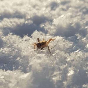 Frozen Crickets Gefrorene Heimchen Gefrorene Grillen Замороженные сверчки Šaldyti Svirpliai mrożone świerszcze